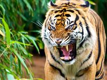 Тигры-людоеды из Суматры