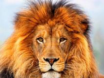 Вся правда о львах