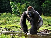Титус - король горилл