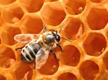Африканские пчёлы-убийцы