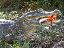 Как прокормить крокодила