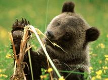 Как прокормить медведя
