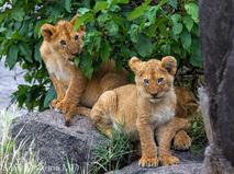 Как прокормить льва