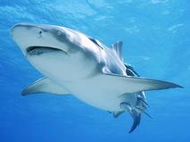 Атака тигровой акулы. Во власти страха
