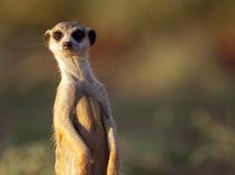 Сурикаты: большая жизнь маленьких существ