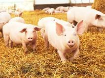 Подложить свинью