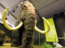 """Еще ближе к """"Парку юрского периода"""". Мысль о возвращении к жизни мамонтов буквально витала в воздухе. Во-первых, сохранилось множество останков этих животных, которые хранились самой природой при отрицательных температурах. Во-вторых, на земле существуют близкие родственники мамонтов – слоны. Японские ученые объявили в начале 2011 года о своем намерении клонировать шерстистого мамонта в течение шести лет. А в 2012 году о намерении вернуть животное к жизни заявили ученые из Якутии и Южной Кореи"""
