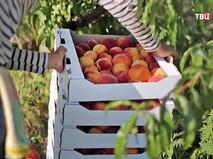 Сбор урожая персиков