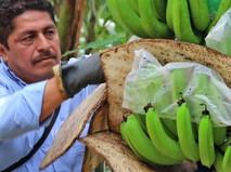 Выращивание бананов
