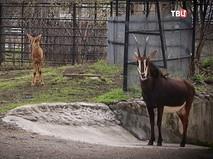 Антилопы в Московском зоопарке