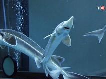 Выращивание осетровых рыб