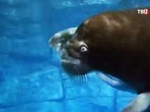 Морж в воде