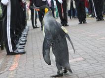 Пингвин из Шотландии