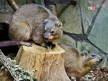 Даманы в зоопарке