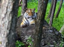 След тигра
