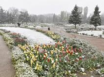 Тюльпаны в Ботаническом саду имени Н.В. Багрова в Симферополе