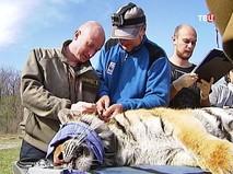 Ветеринары обследуют тигрицу