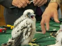 Птенцы соколов-сапсанов