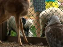 Чайка и косуля