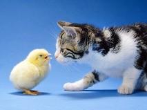 Кошка и цыплёнок