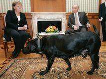 Лабрадор Кони на встрече Ангелы Меркель и Владимира Путина