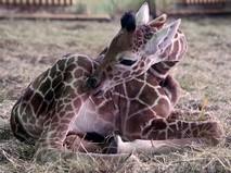 Детёныш жирафа