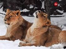 Львицы в зоопарке