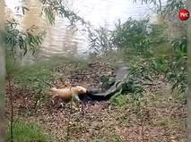 Ссобачка кусает крокодила за хвост