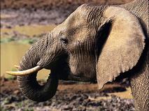 Энциклопедия. Слоны