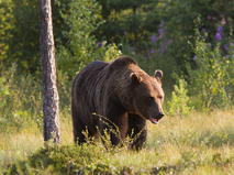Энциклопедия. Медведи