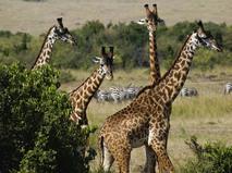 Африка. Опасная случайность