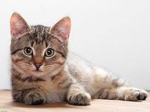 Энциклопедия. Домашние кошки