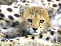 Как вырастить гепарда