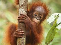 Как вырастить орангутана