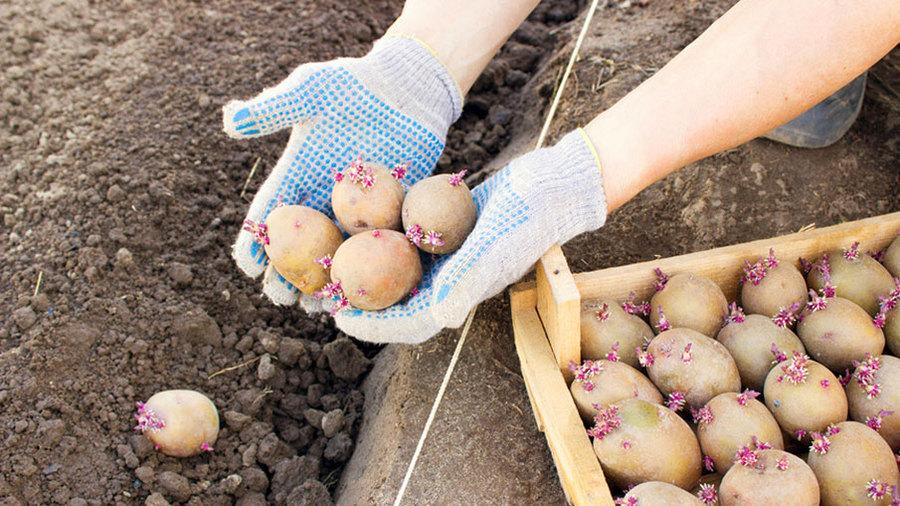 Какую картошку лучше всего сажать 671