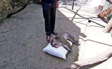 Обезьяна в Ялтинском зоопарке