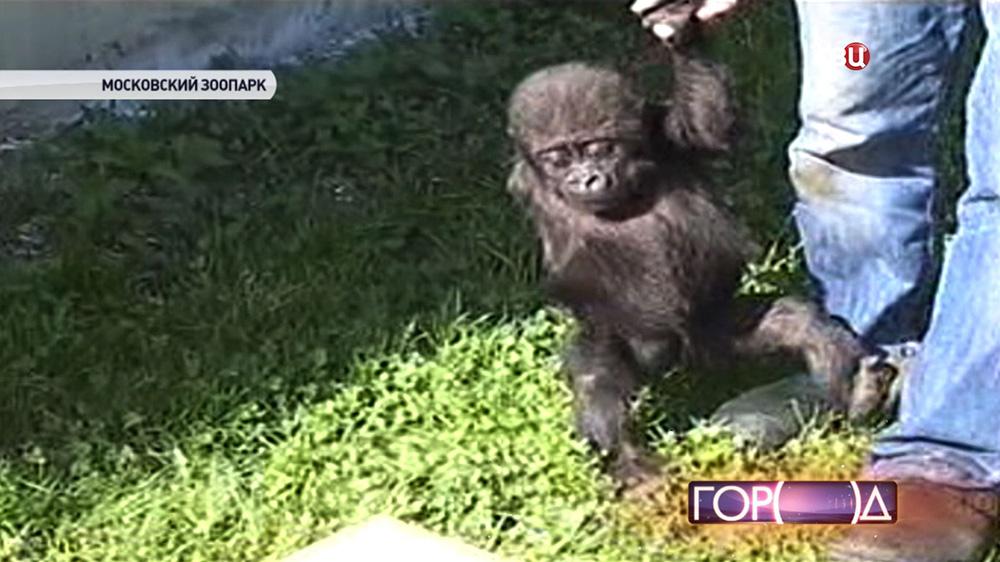 Однорукий детеныш гориллы