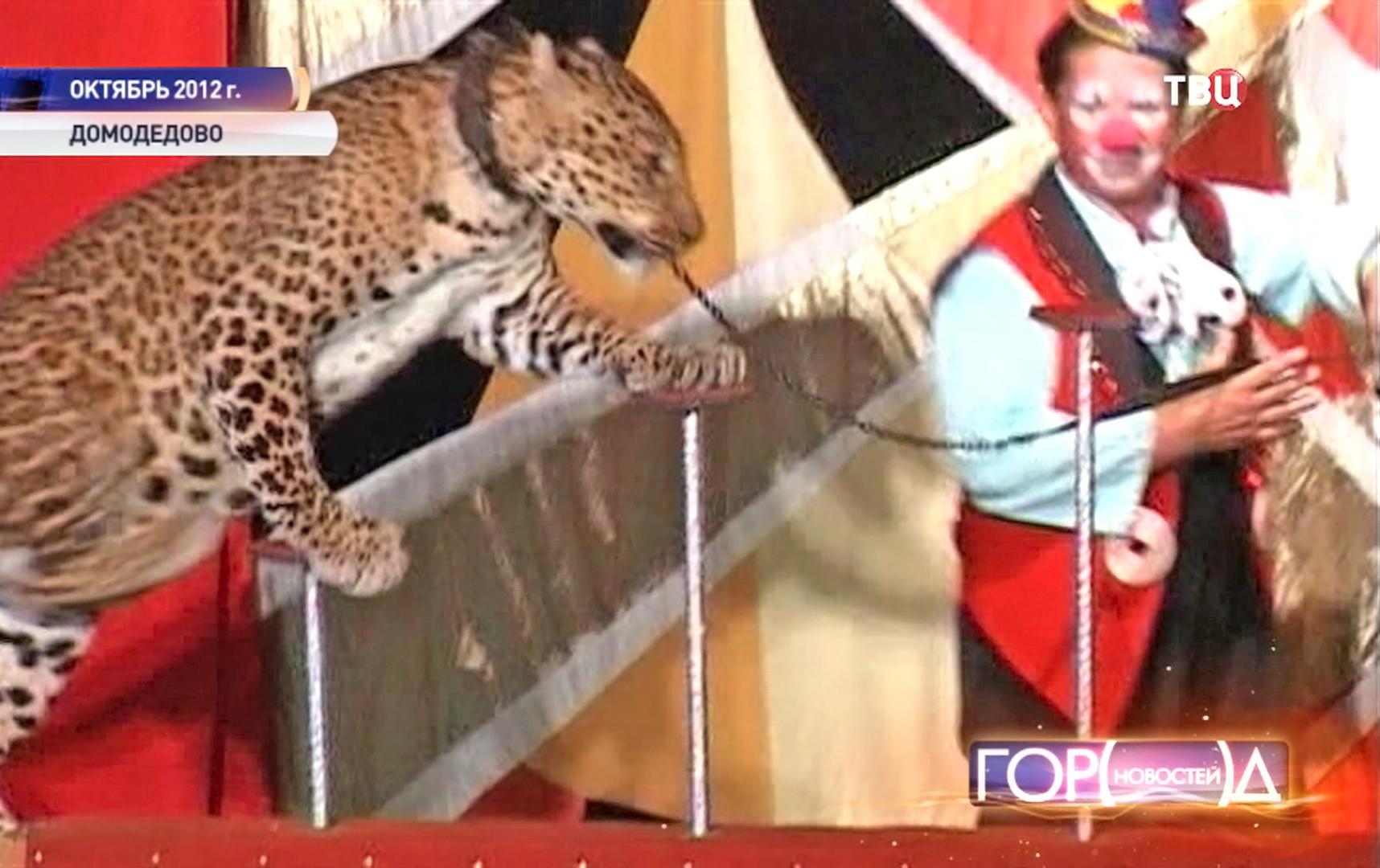 Леопард на арене цирка