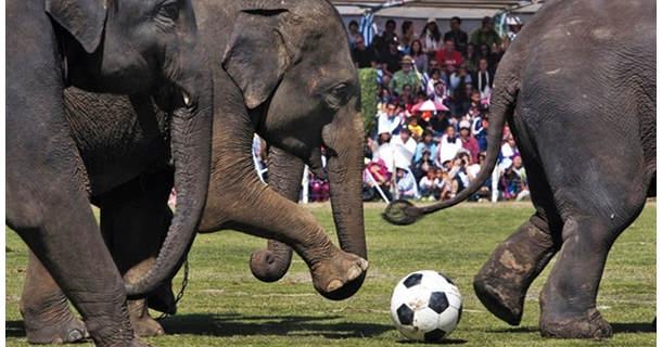 Слоны играют в футбол