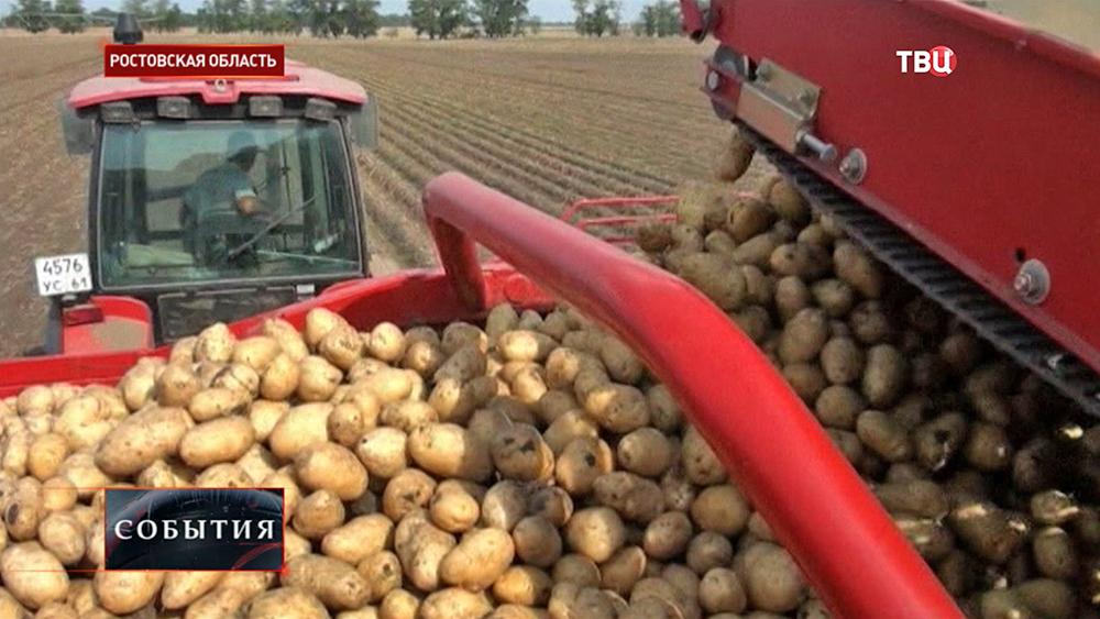 Сбор урожая картофеля в Ростовской области