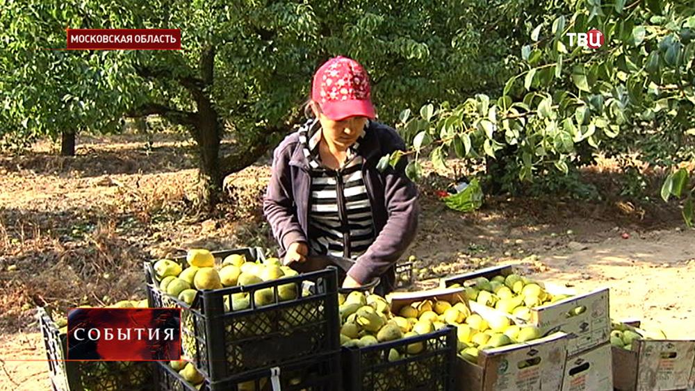Фермеры собирают урожай груш