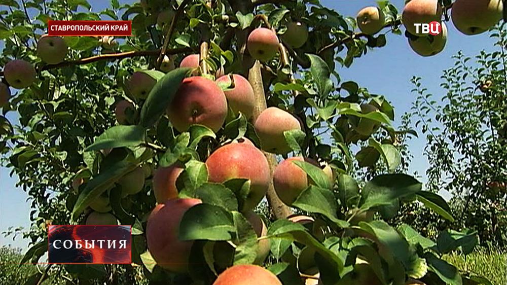 Урожай яблок в Ставропольском крае