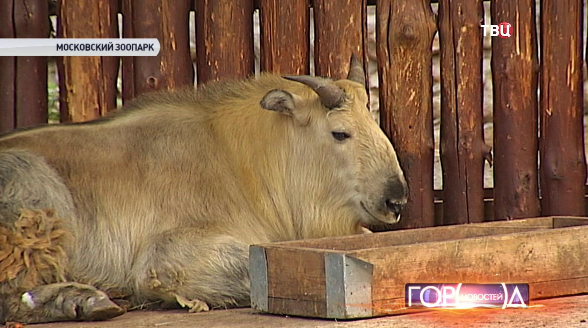 Детеныш такина в Московском зоопарке