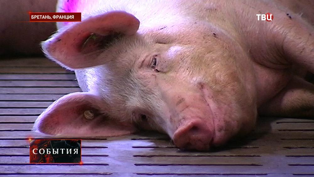 Французская свиноферма