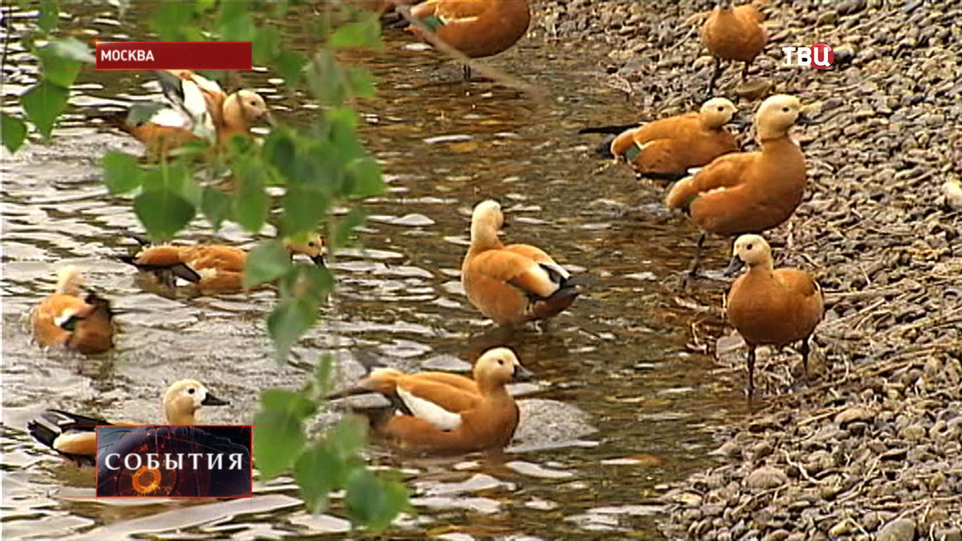 Утки в Московском зоопарке