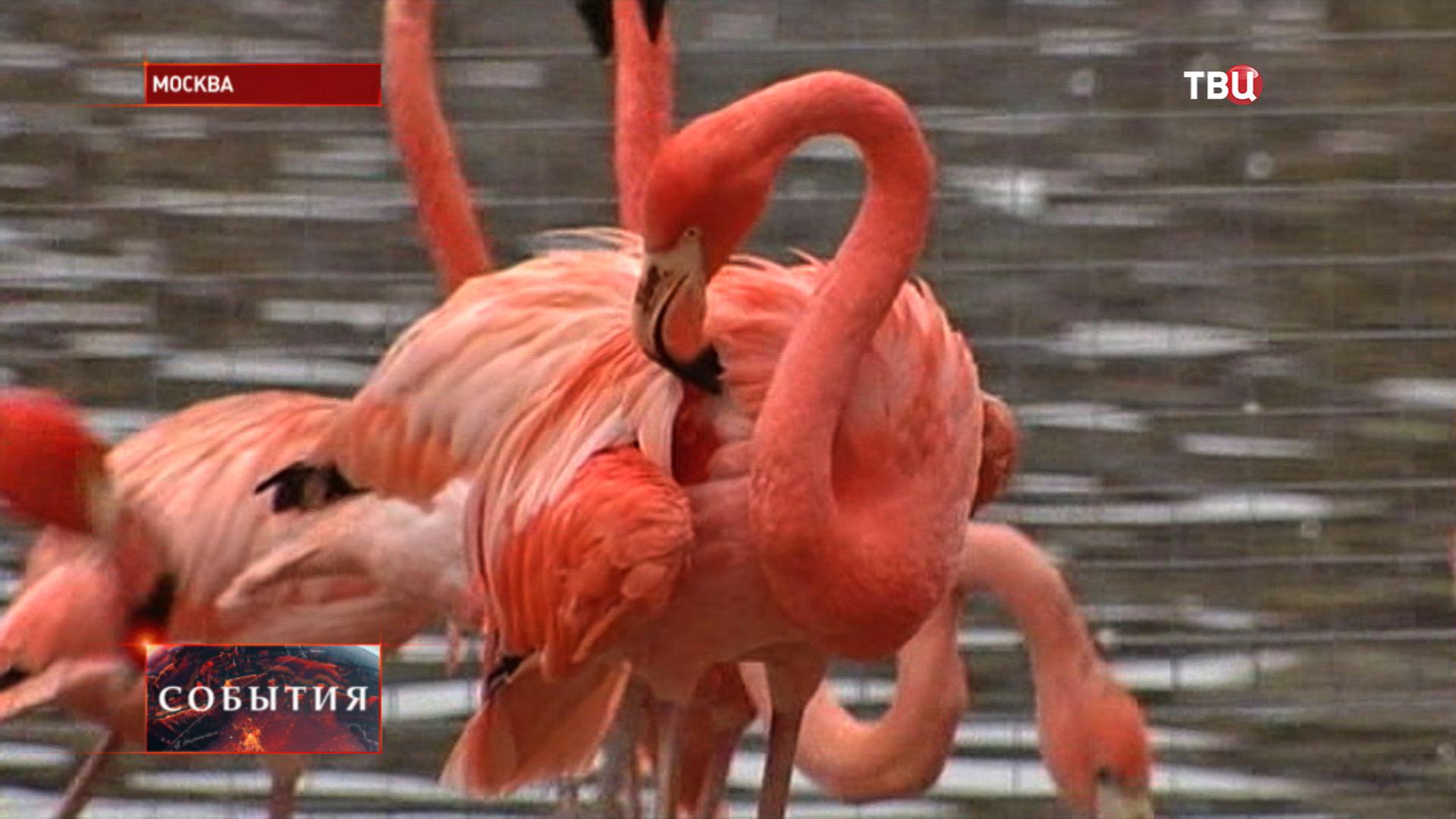 Розовый фламинго в Московском зоопарке