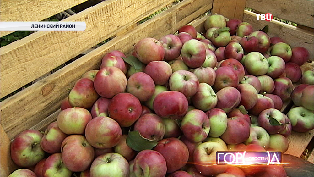 Cбор урожая яблок