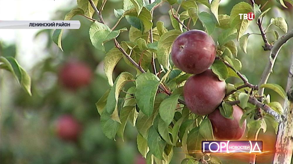 Урожая яблок