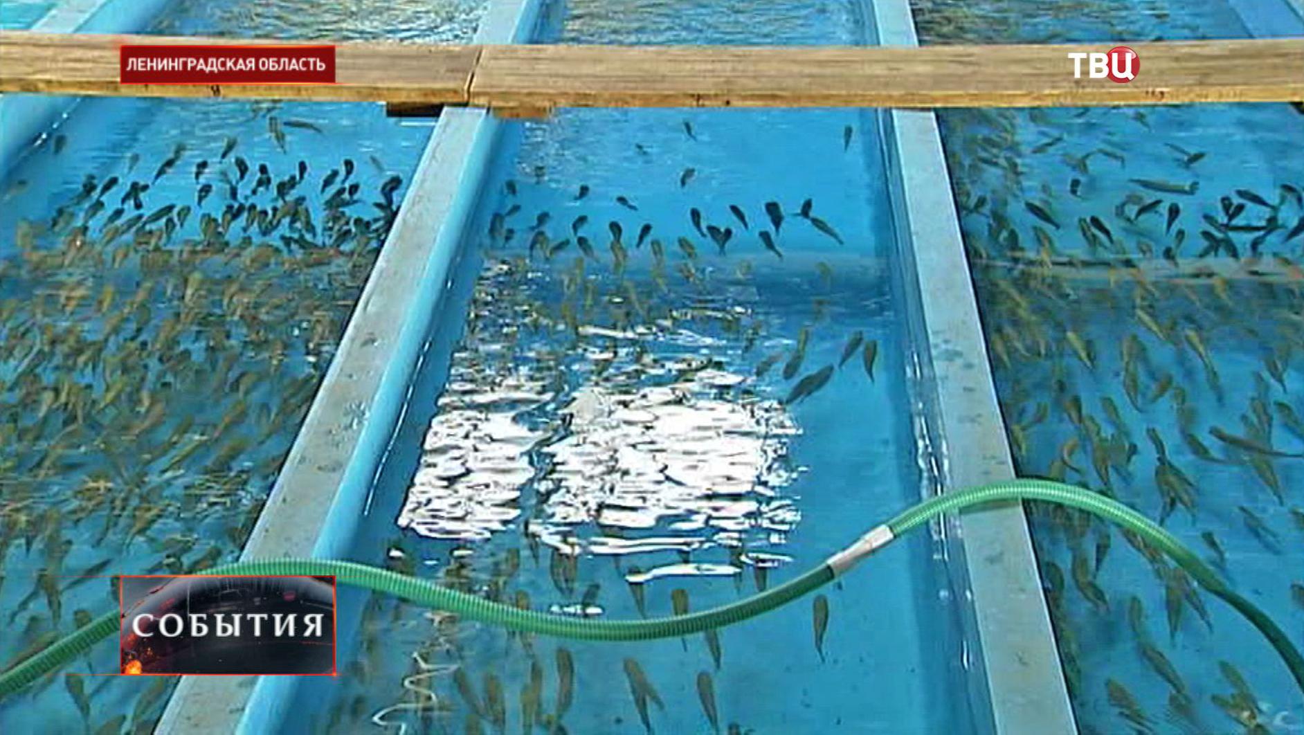 Озеро выпустят 160 тысяч особей палии