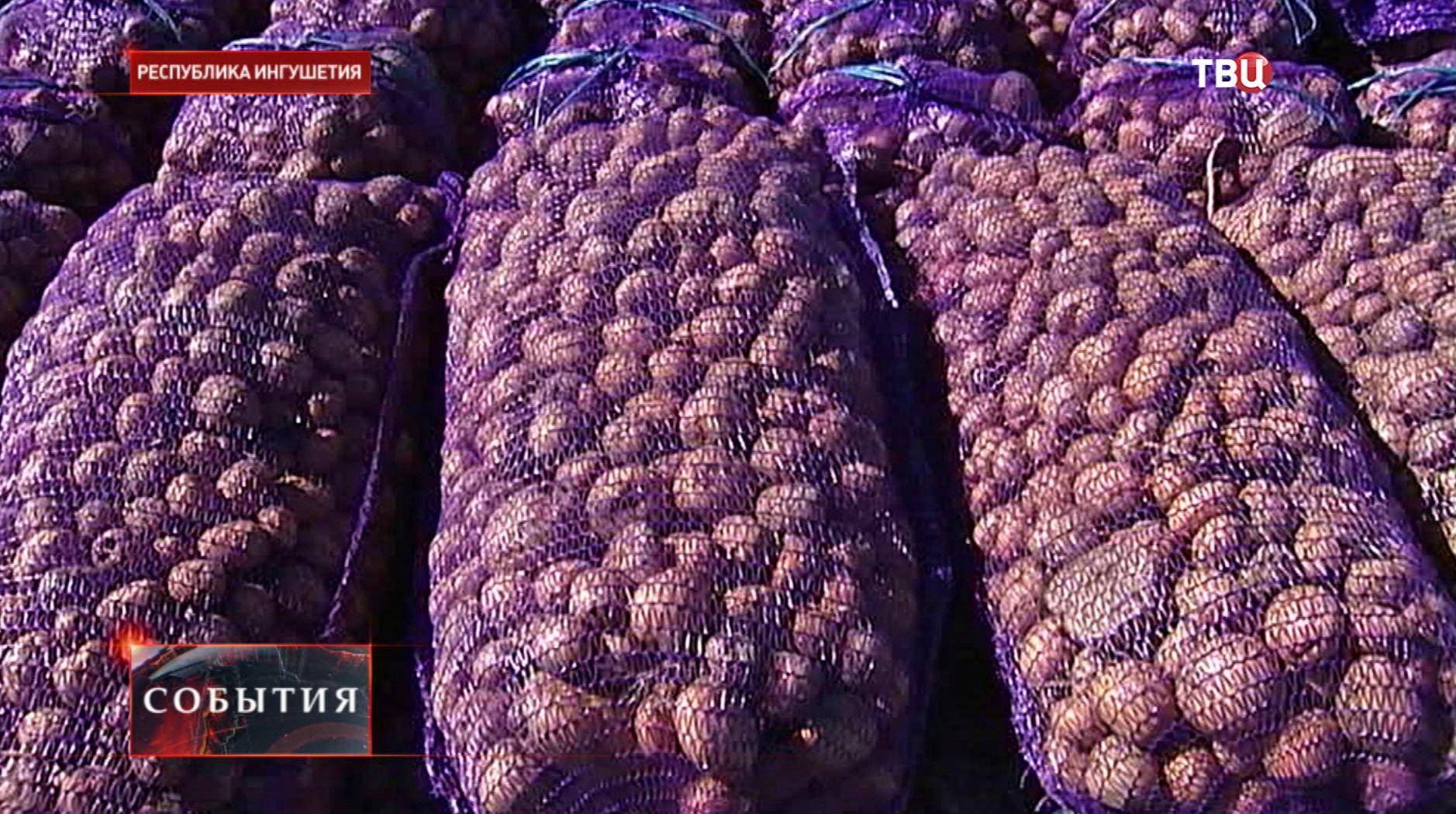 Фермеры Ингушетии собрали рекордный урожай картофеля